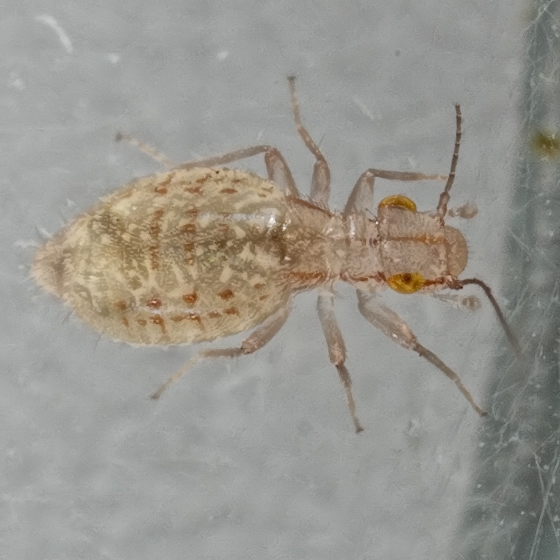Booklouse - Trogium pulsatorium - female