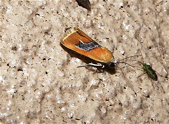 Small Orange & Silver Moth - Ponometia venustula
