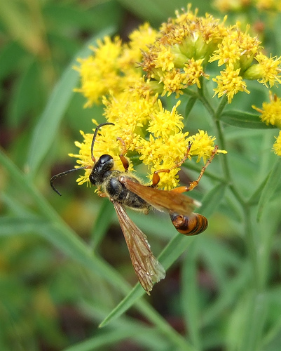 worn Grass-carrying Wasp - Isodontia elegans