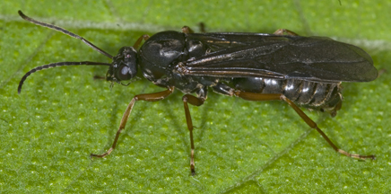 6009051 winged ant - Formica