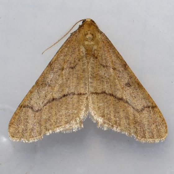 Linden Looper - Erannis tiliaria - male