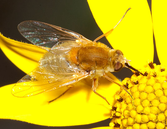 golden bee fly - Apolysis