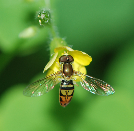 Hover Fly - Toxomerus marginatus