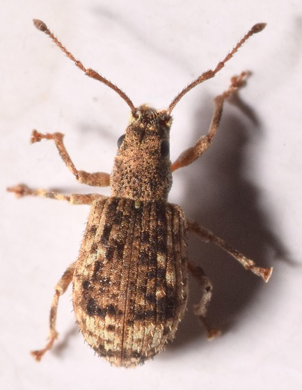 Pseudoedophrys hilleri