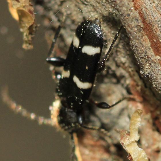 Longhorned Beetle - Phymatodes varius - female