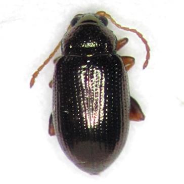 Crepidodera populivora - female