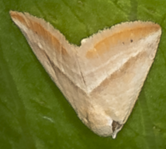 Straight-lined Seed Moth - Eublemma recta