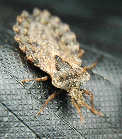 unknown bug - Aradus crenatus