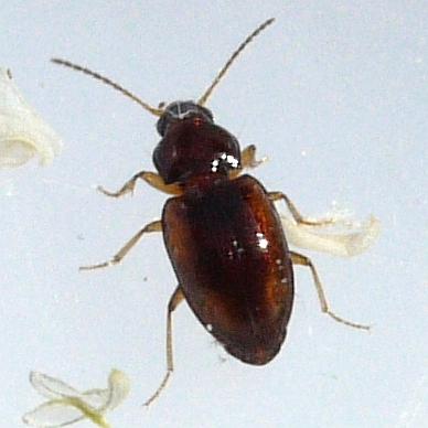 beetle - Elaphropus