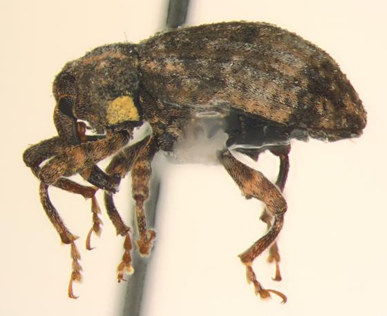 Curculionidae, lateral - Conotrachelus seniculus