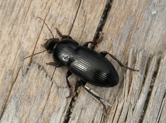 Beetle for ID - Anisodactylus