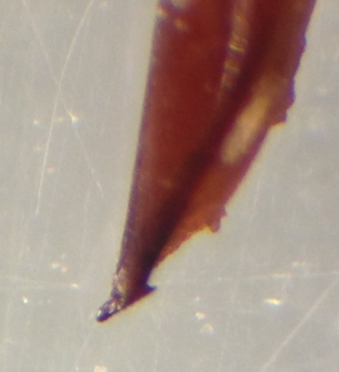 Anisodactylus merula  - Anisodactylus merula - male