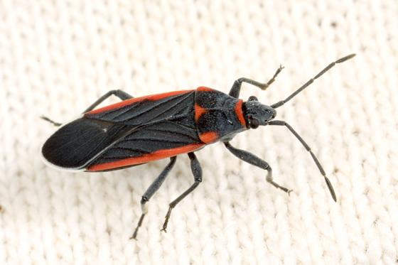 Plant Bug - Melacoryphus lateralis