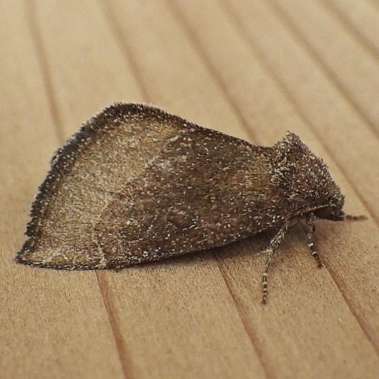 Noctuidae: Plagiomimicus heitzmani - Plagiomimicus heitzmani