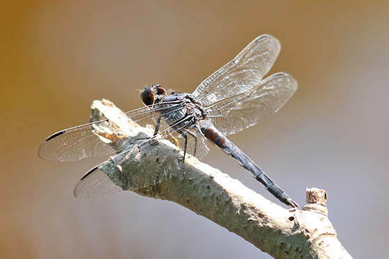 Libellula incesta - Slaty Skimmer - Libellula incesta - male