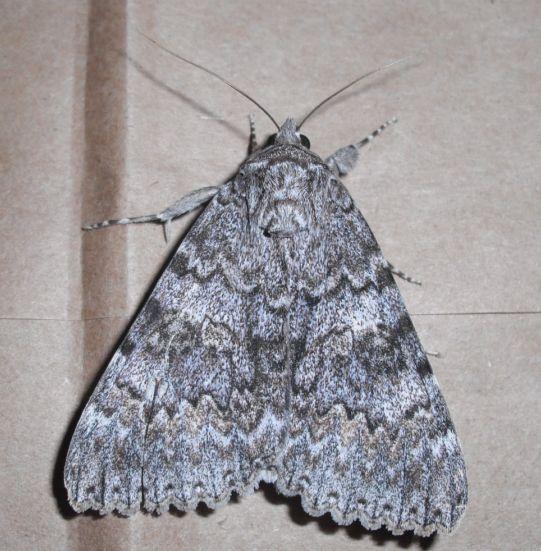 Species Catocala unijuga - Once-married Underwing - Hodges#8805????? - Catocala unijuga