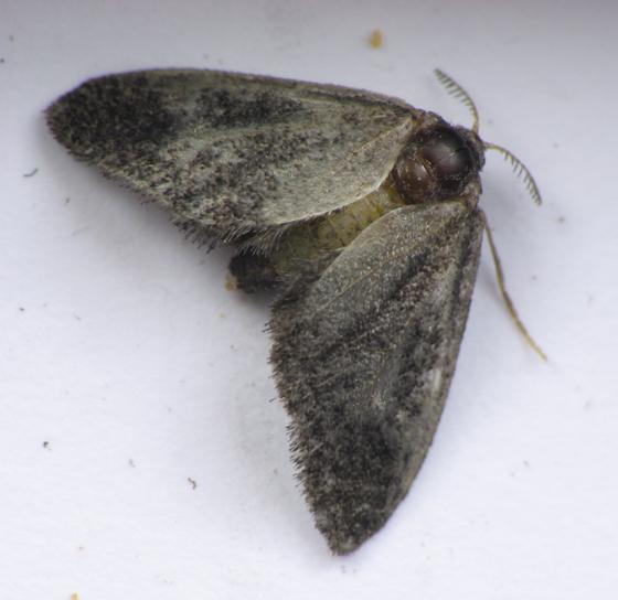 Fulgoraecia from Rancocas - Fulgoraecia exigua - female