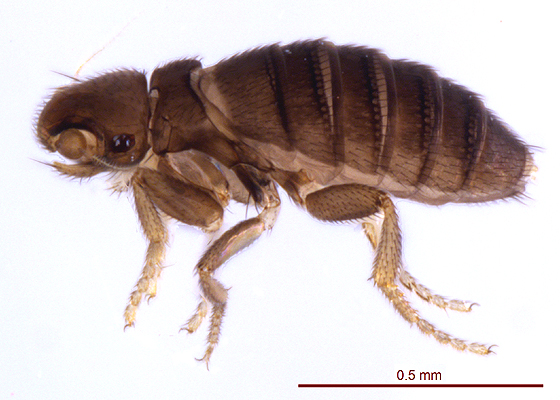 Wingless Fly - Chonocephalus heymonsi