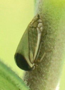 hopper in Smiliinae subfamily? - Acutalis tartarea