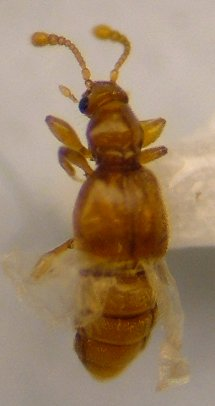 Pselaphid - Trimioplectus obsoletus