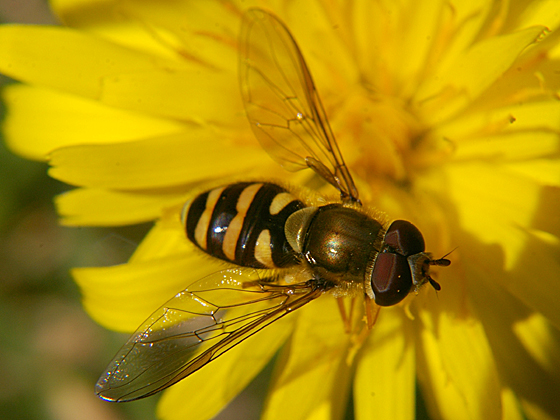 Syrphid Fly - male