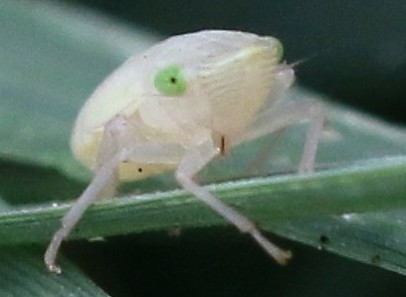 Leafhopper, green-eyed