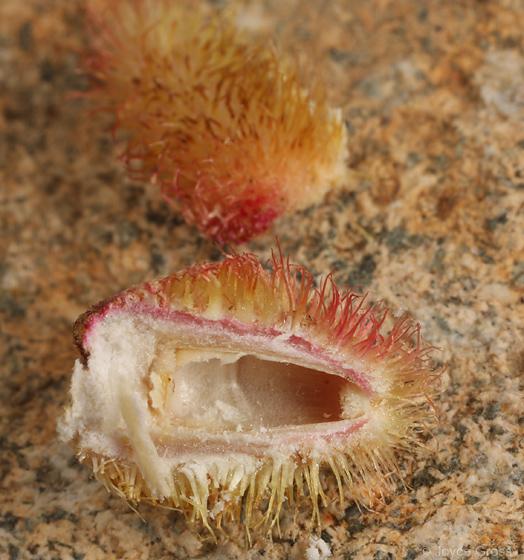 yet another short-haired fuzzy Arizona gall - Andricus sulfureus