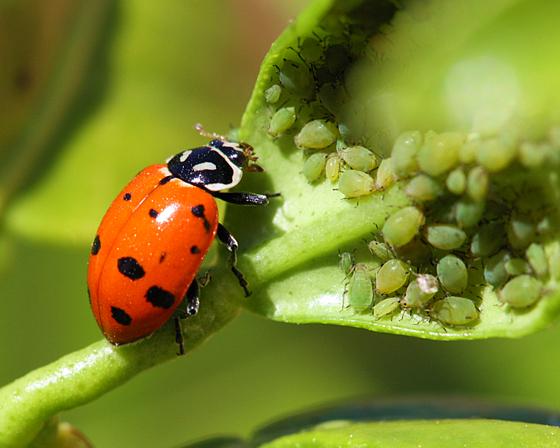 Lady Bug Buffet - Hippodamia convergens