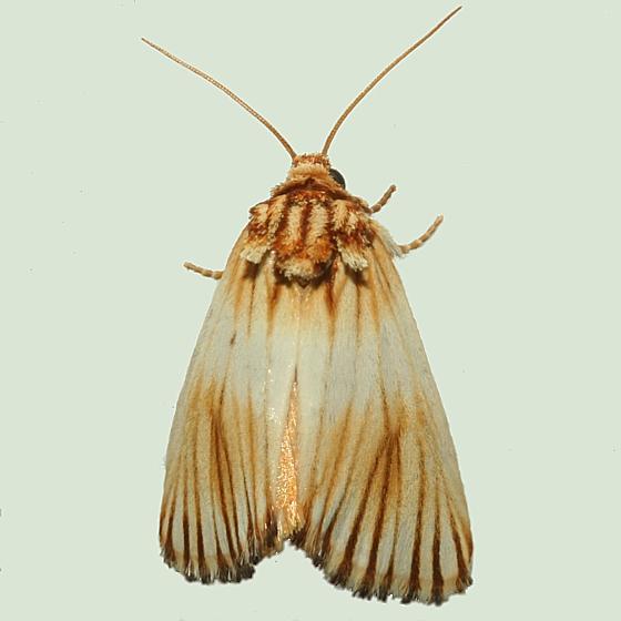 Moth - Eulithosia discistriga