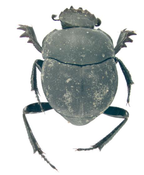 Scarabaeidae, dorsal - Melanocanthon nigricornis
