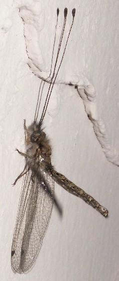 Owlfly, Ululodes, Male - Ululodes macleayanus - male