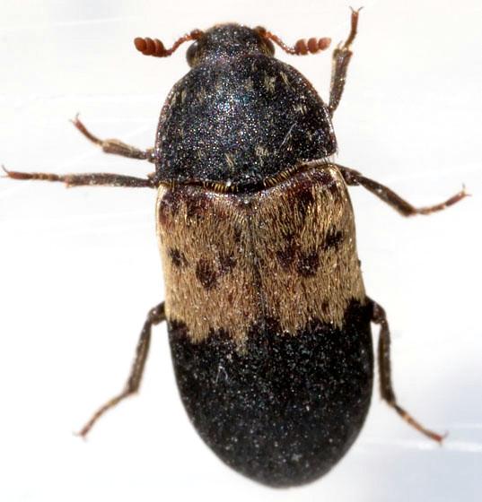 Black & Brown Beetle - Dermestes lardarius