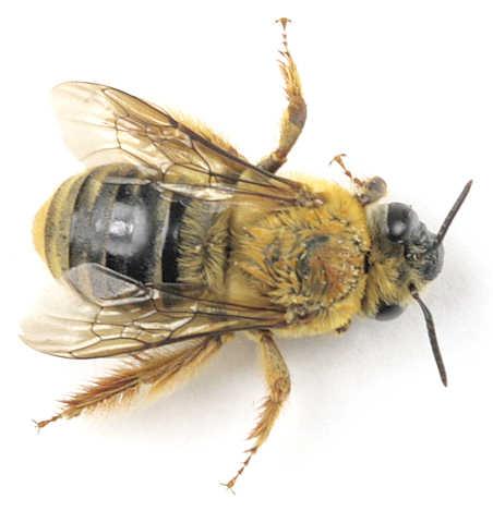Apidae - ? - Xenoglossa strenua - female
