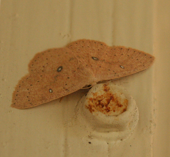 tan Moth with white spots - Cyclophora packardi