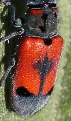 bug, red &black, long jointed antennae - Tetraopes skillmani