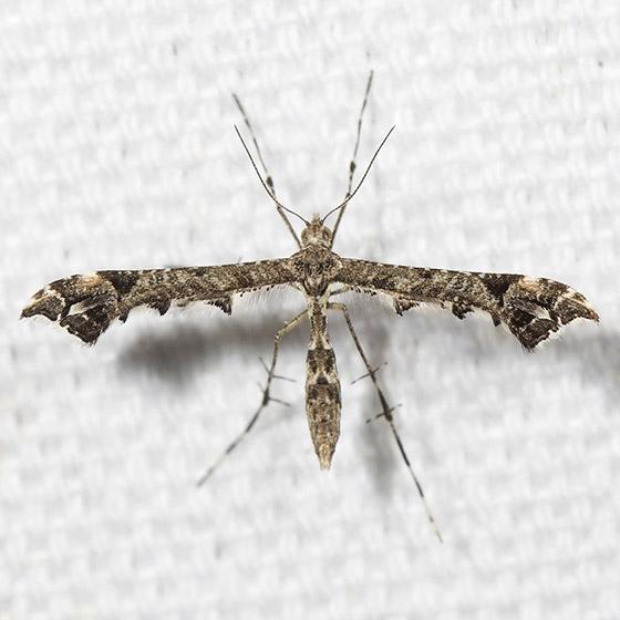 Geranium Plume Moth - Hodges#6118 - Amblyptilia pica