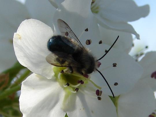 Bee - Osmia lignaria - male