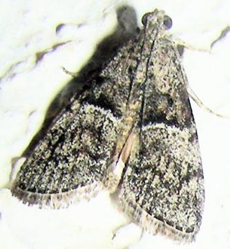 Moth # 07-176