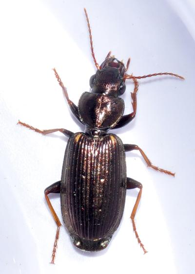 Beetle - Apenes lucidula