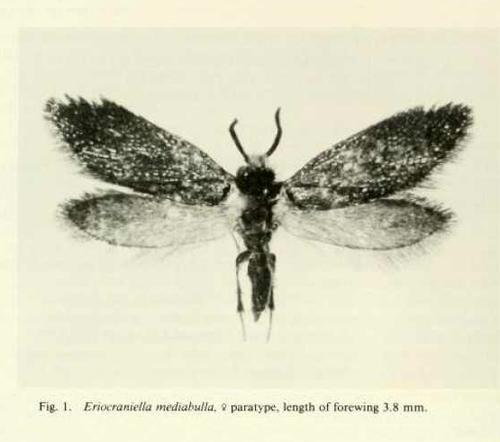 Eriocraniella mediabulla Paratype - Eriocraniella mediabulla - female