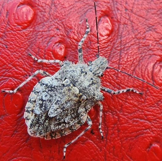 Bug - Brochymena