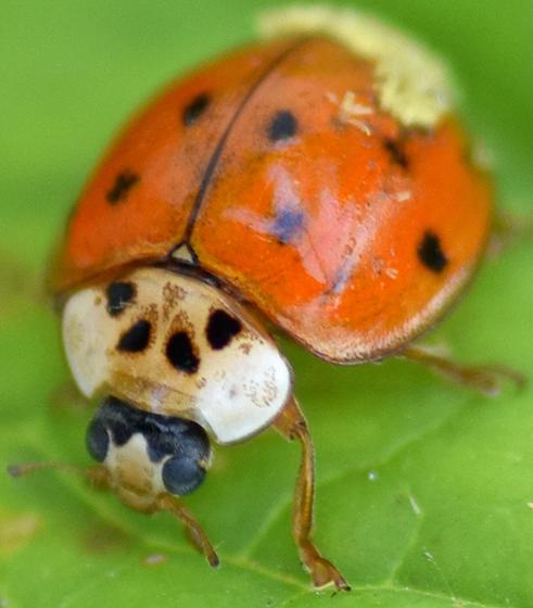 Lady beetle (with fungus) - Harmonia axyridis