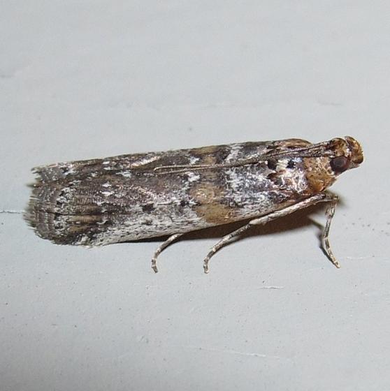 Hodges #5890 - Adelphia petrella