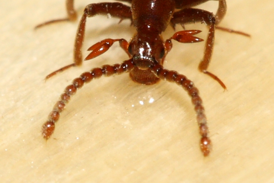 Ant-loving Beetle - Ceophyllus monilis