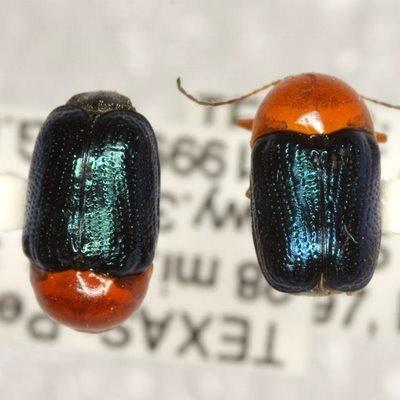Cryptocephalus a. arizonensis Schaeffer - Cryptocephalus arizonensis