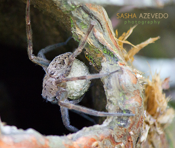 Fishing Spider with Egg Sac - Dolomedes tenebrosus