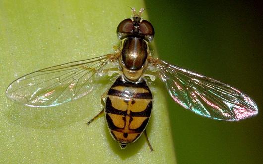 Flower Fly - Toxomerus marginatus - female