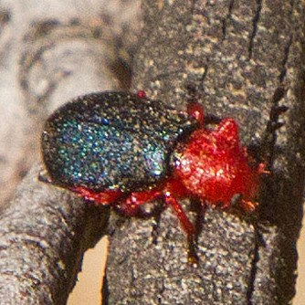 Flying red and black beetle - Chariessa catalina