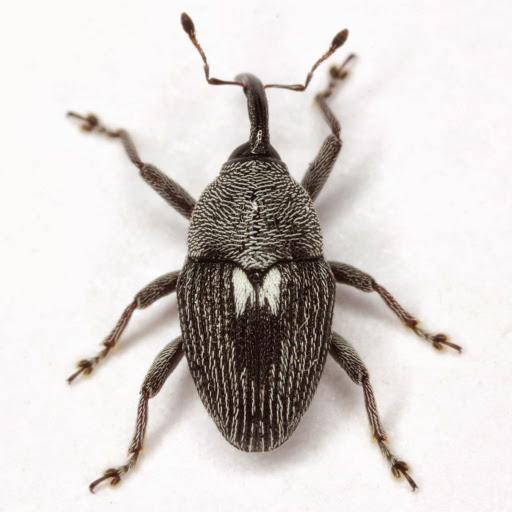 Geraeus patagoniensis (Sleeper) - Geraeus patagoniensis