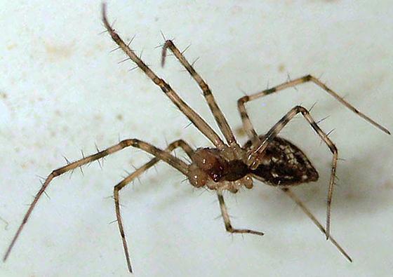 Black and White Spider SK 34 - Megalepthyphantes nebulosus - male